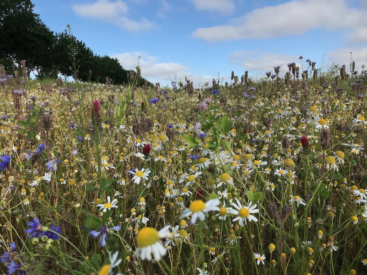 Blühwiesen auf Gut Bresahn ©Blütenfreunde
